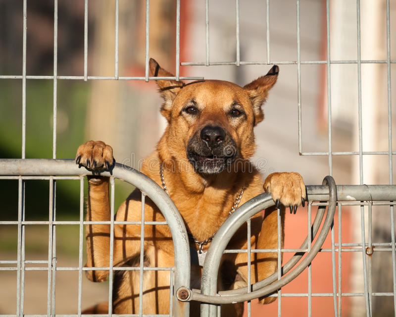 Guard Dog Looking Out from Behind a Wire Gate royalty free stock images