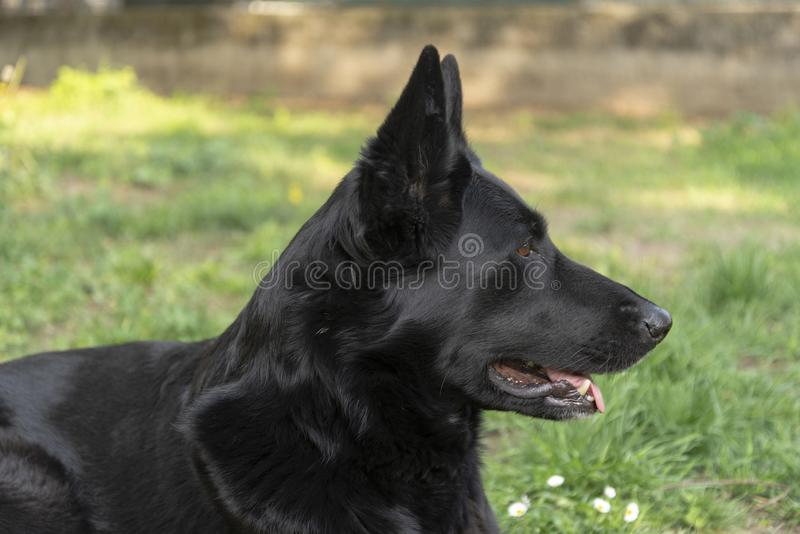 Guard dog resting in the backyard stock photo