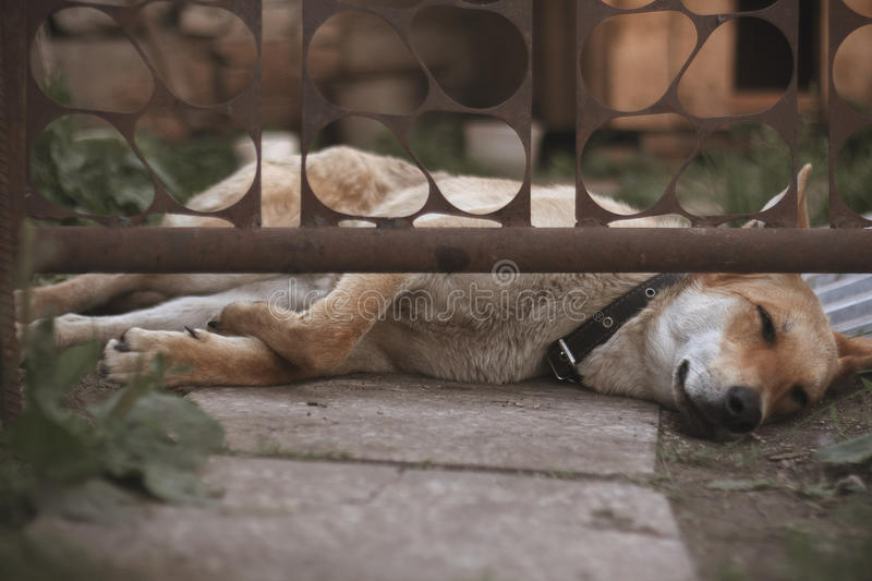 Guard dog sleep and bored under a gate stock image