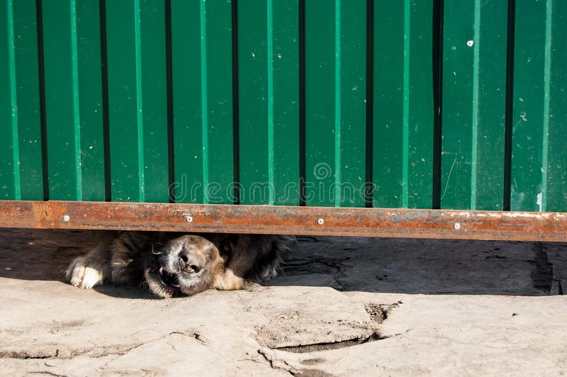 Guard dog stucks his muzzle between the ground and the gate royalty free stock photos