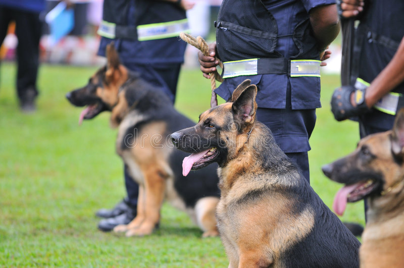 Guard Dogs I. German Shepherd Dog or GSD are used often in law enforcement or military
