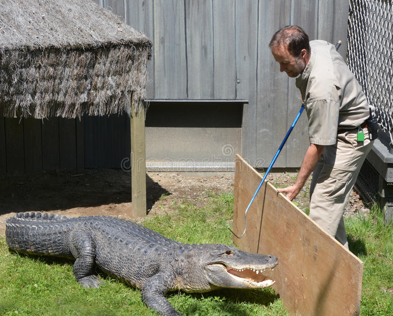 Guard of Granby Zoo. GRANBY QUEBEC CANADA 05 31 17: Guard of Granby Zoo try to change an alligator of and enclosure. Granby Zoo in Granby, Quebec and is one of stock images