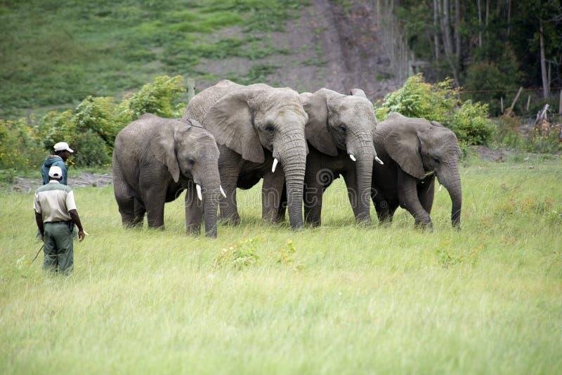 Guardabosques de la fauna que trabajan con los elefantes africanos foto de archivo