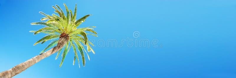 Guardando la palma inclinata contro il cielo azzurro, veduta da sotto, sfondo panoramico di viaggio tropicale fotografie stock