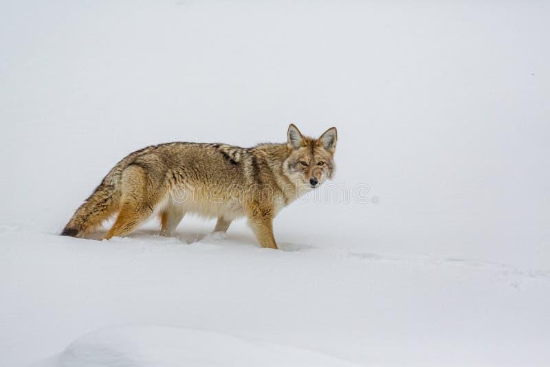 Guardando radrizzi una macchina fotografica, bello coyote nel winter_ fotografia stock