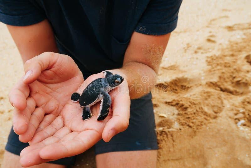 Guardando uma tartaruga de mar recentemente chocada do bebê, Sri Lanka foto de stock royalty free