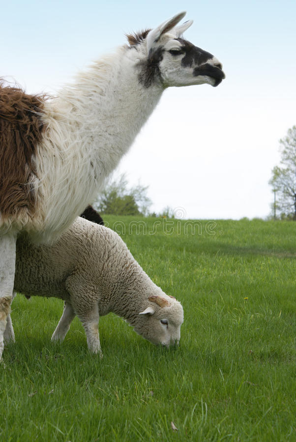 Guardar ovejas fotografía de archivo libre de regalías