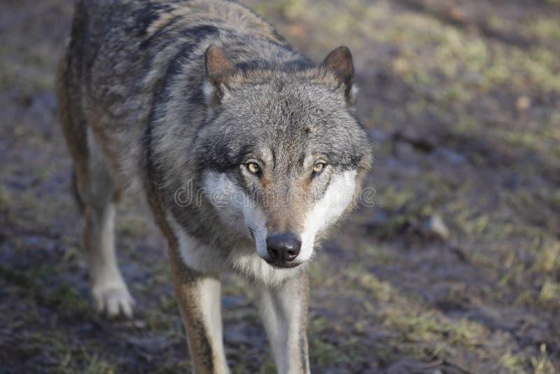 Guardare lupo fisso euroasiatico fotografia stock