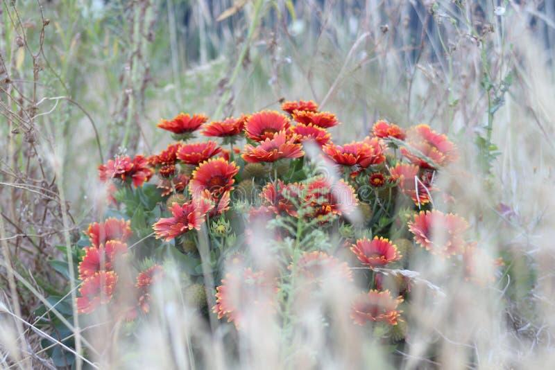 Guardi al fiore rosso dietro erba fotografie stock libere da diritti