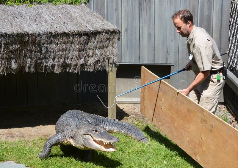 Guardia del intento del parque zoológico de Granby para cambiar un cocodrilo de y un recinto fotografía de archivo