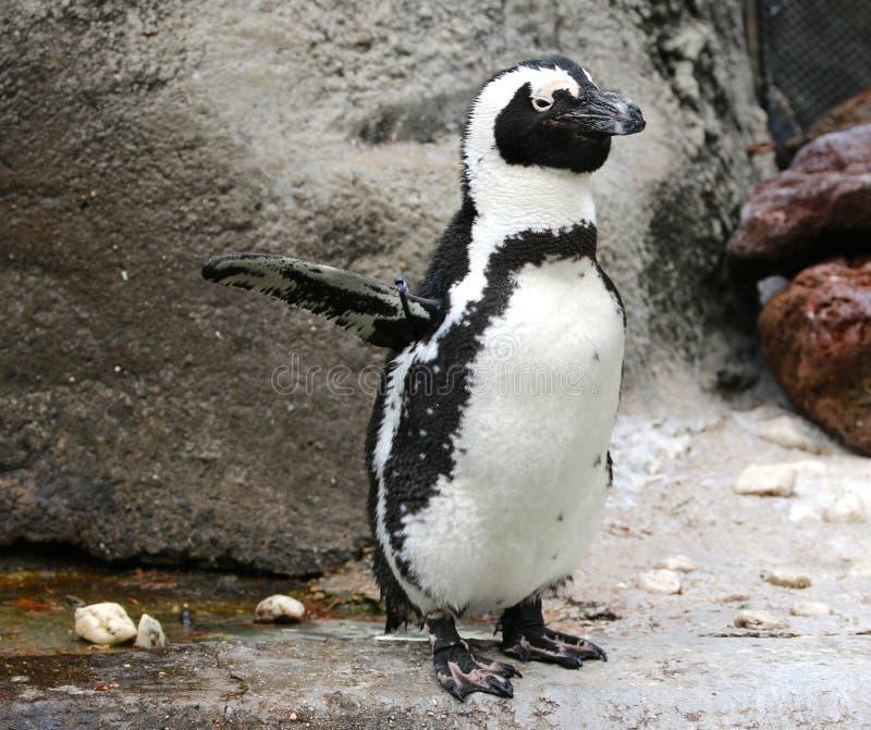 Guardia di incrocio del pinguino a Memphis Zoo fotografia stock
