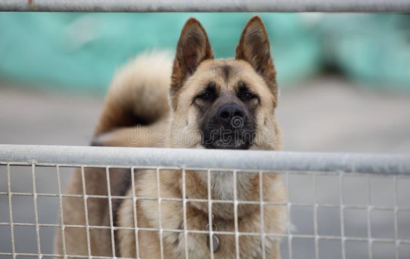 Guardia Dog fotografia stock libera da diritti