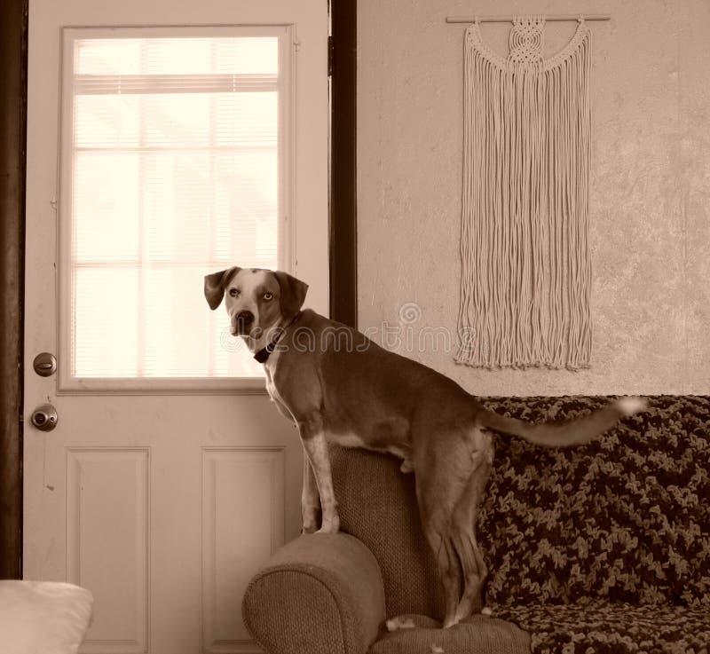Guardia Dog fotografia stock