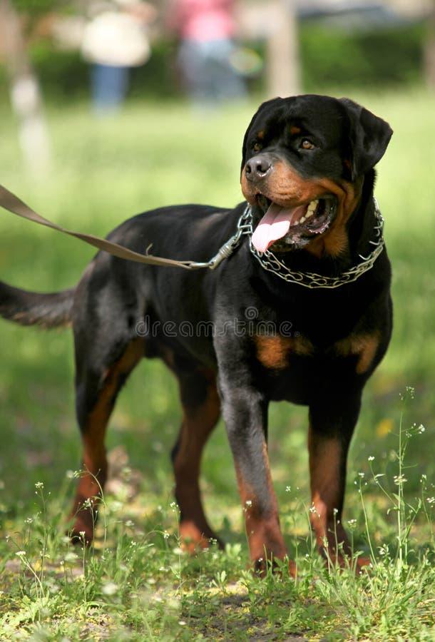 Guardia Dog di Deutsch Rottweiler fotografia stock