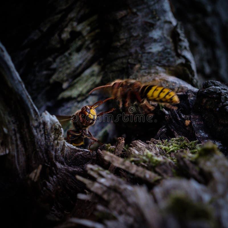 Guardiano del nido dei calabroni che controlla un compagno di ritorno immagine stock