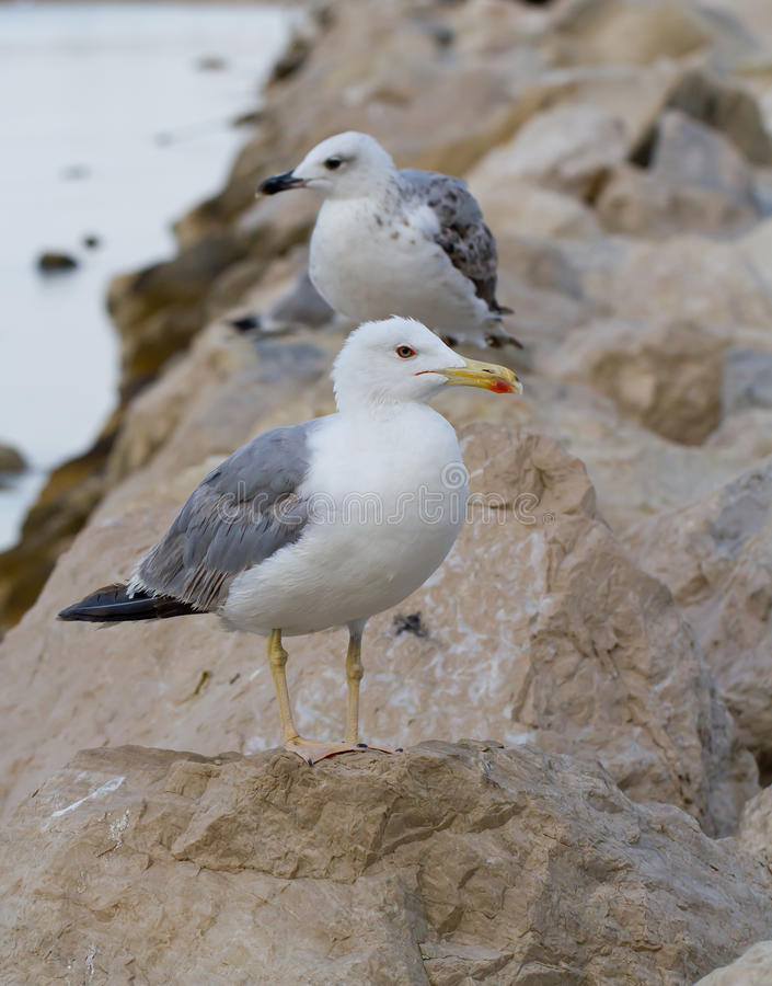 Download Seagull stock image. Image of beach, cliff, background - 29953935