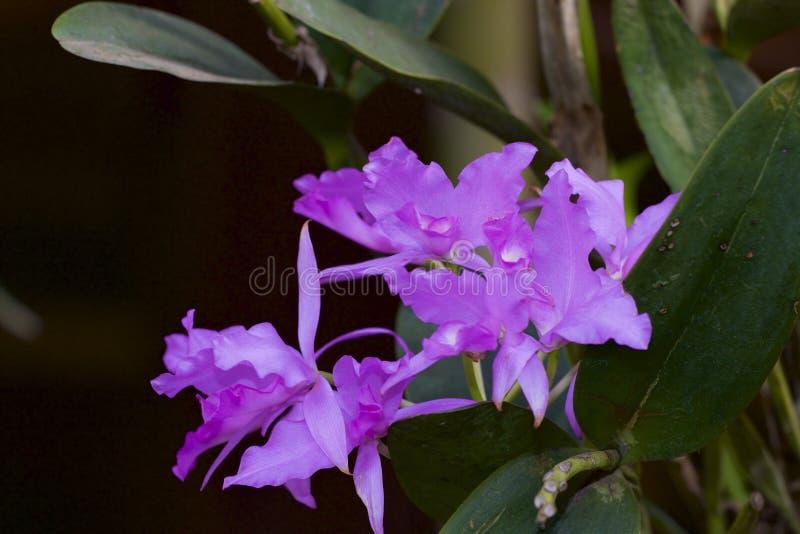 Guaria Morada Orchid 837850 immagine stock libera da diritti