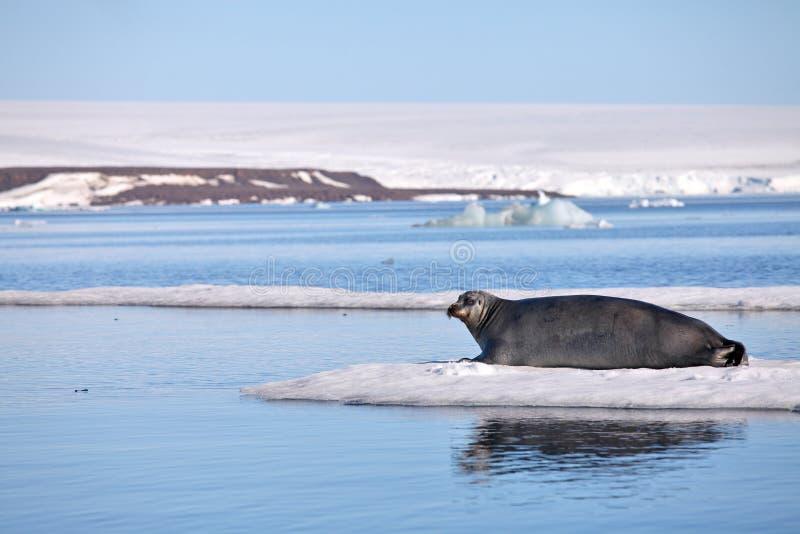 Guarnizione barbuta su ghiaccio veloce immagini stock libere da diritti