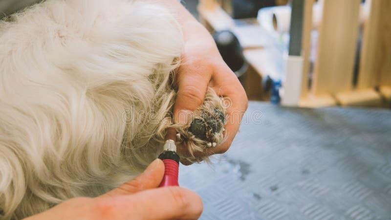 Guarnizione del chiodo nei cani Assista il salone governare per i cani Cani di cura dell'unghia Fuoco poco profondo fotografie stock libere da diritti