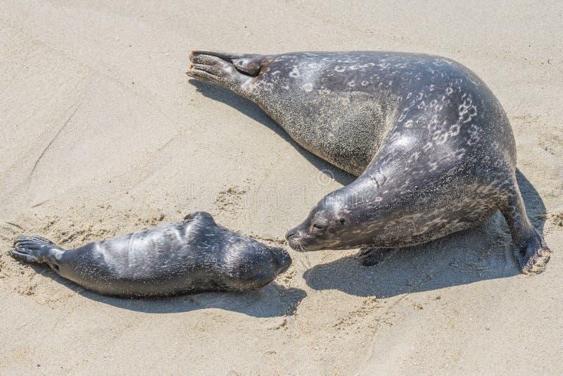 Guarnizione del cucciolo e della madre sulla spiaggia fotografia stock