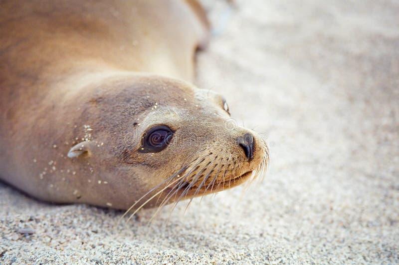 Guarnizione del Galapagos immagini stock libere da diritti