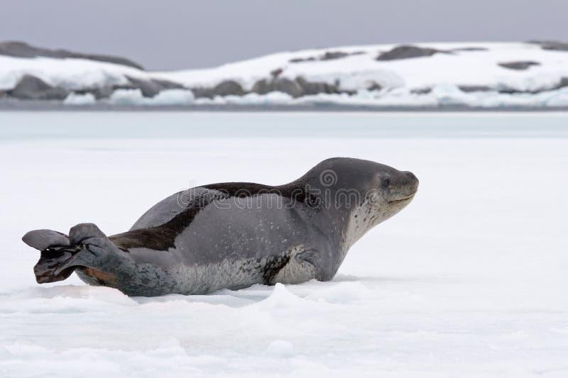 Guarnizione di elefante su ghiaccio immagini stock