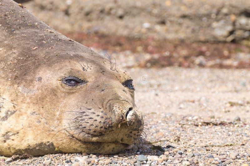Guarnizione di elefante sulla fine della spiaggia su, Patagonia, Argentina fotografie stock libere da diritti