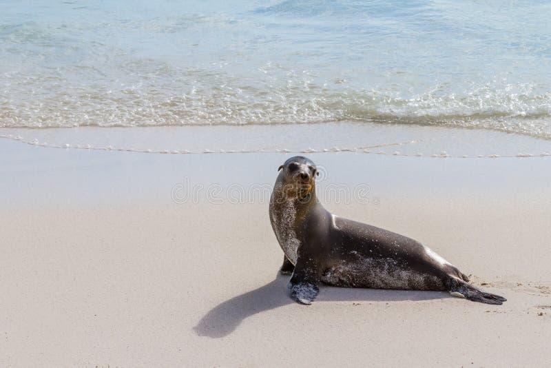 Guarnizione di Galapagos fotografie stock libere da diritti