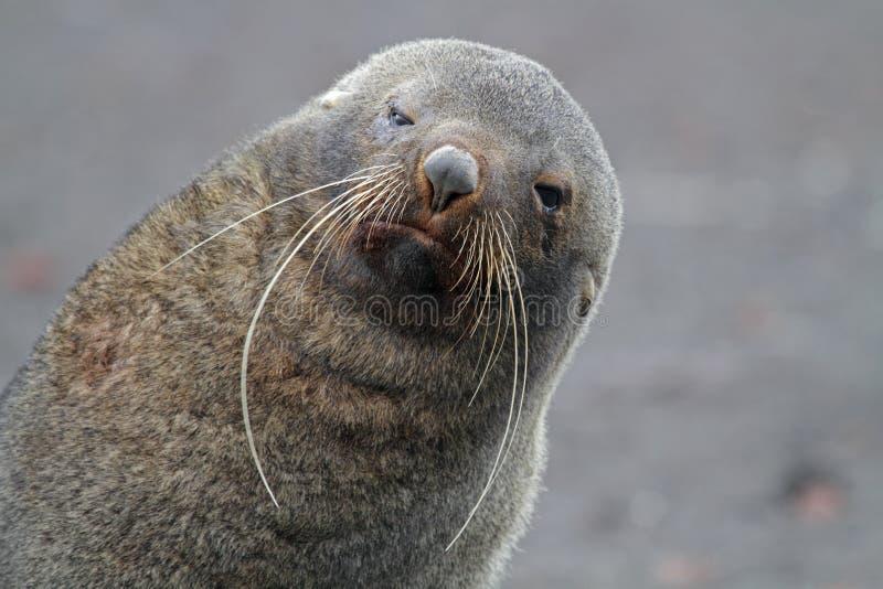 Guarnizione di pelliccia antartica con le basette lunghe, Antartide fotografie stock