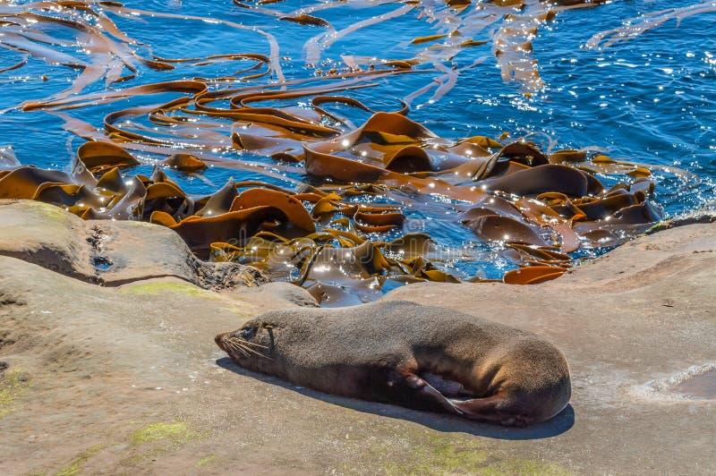 Guarnizione di pelliccia della Nuova Zelanda o kekeno alla costa, prendente il sole su una roccia fotografie stock libere da diritti