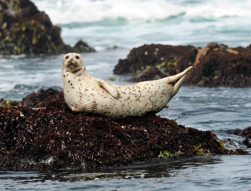 Guarnizione di porto della California sulla roccia, grande sur, California immagini stock