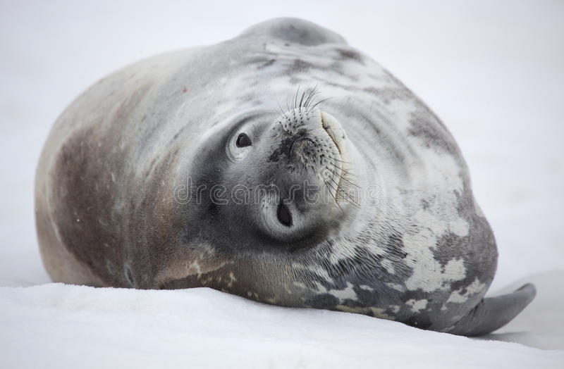 Guarnizione di Weddell dell'Antartide fotografia stock libera da diritti