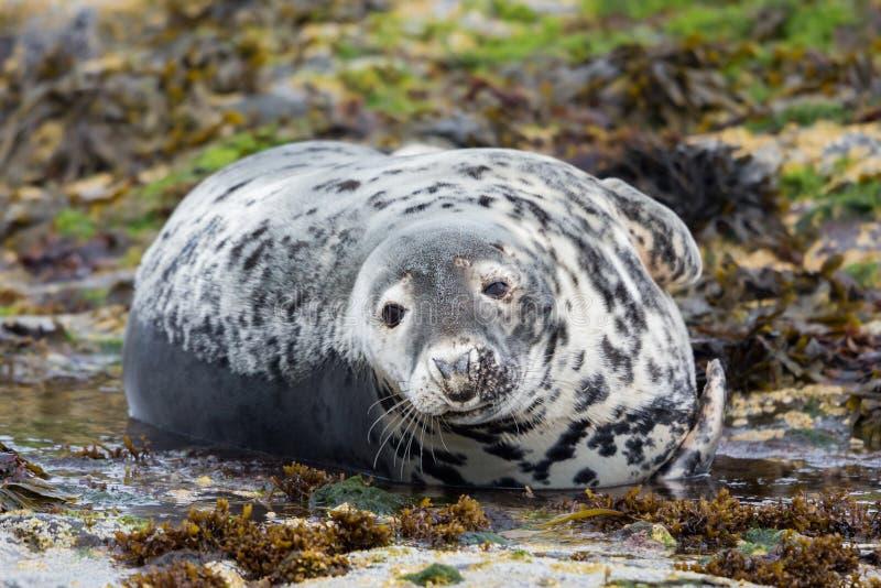 Guarnizione grigia che esamina macchina fotografica ( Halichoerus grypus) , Isole di Farne, Scozia fotografia stock libera da diritti