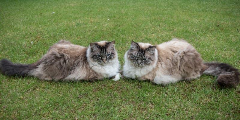 Guarnizione Lynx Tabby Cats Sitting Together On di due Ragdoll un prato inglese dell'erba fotografia stock libera da diritti