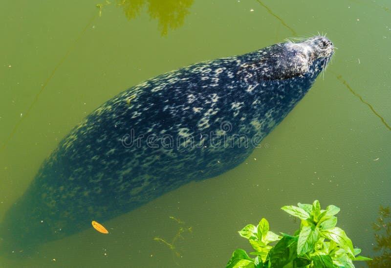 Guarnizione nella fine su nuoto del lupo di mare nell'acqua fotografia stock libera da diritti