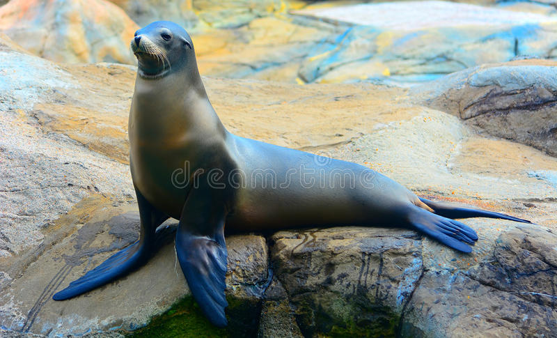 Guarnizione o leone marino sulla roccia immagine stock libera da diritti