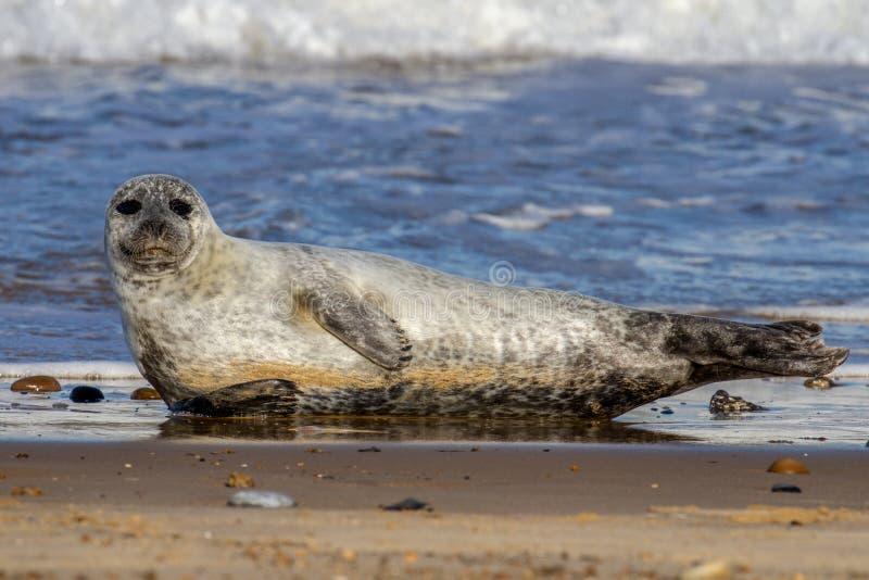 Guarnizioni alla colonia di foche sulla spiaggia ad amante dei cavalli, Norfolk immagine stock libera da diritti