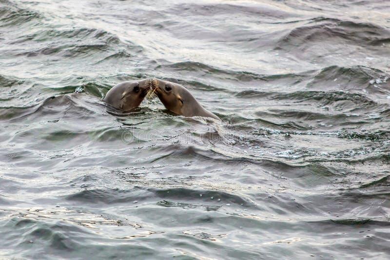 Guarnizioni che baciano nell'oceano immagini stock