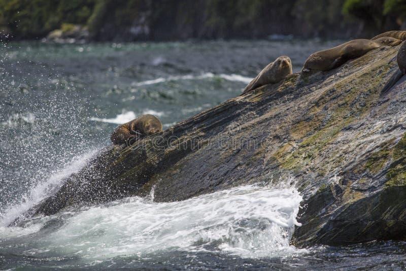 Guarnizioni che dormono in Milford Sound, alla roccia della guarnizione immagini stock libere da diritti