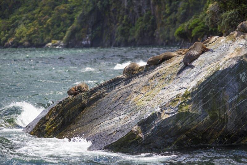 Guarnizioni che dormono in Milford Sound, alla roccia della guarnizione fotografia stock libera da diritti