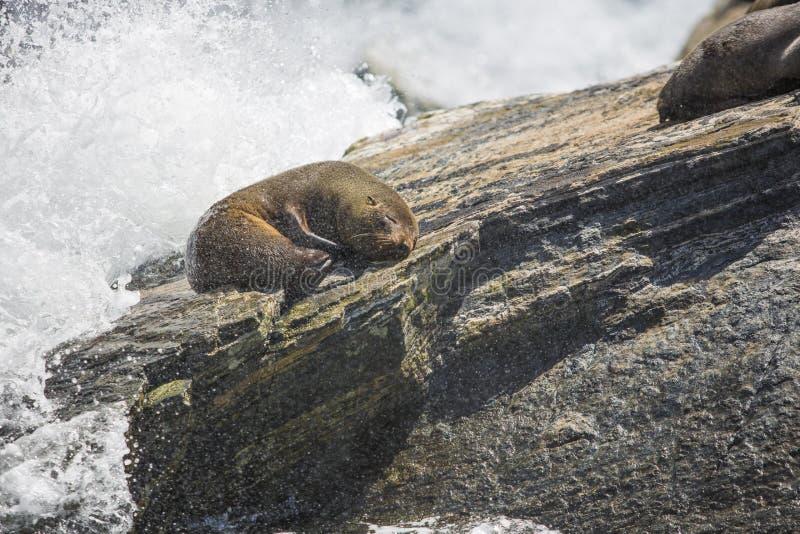 Guarnizioni che dormono in Milford Sound, alla roccia della guarnizione fotografie stock libere da diritti