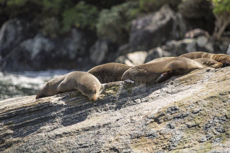 Guarnizioni che dormono in Milford Sound, alla roccia della guarnizione fotografie stock