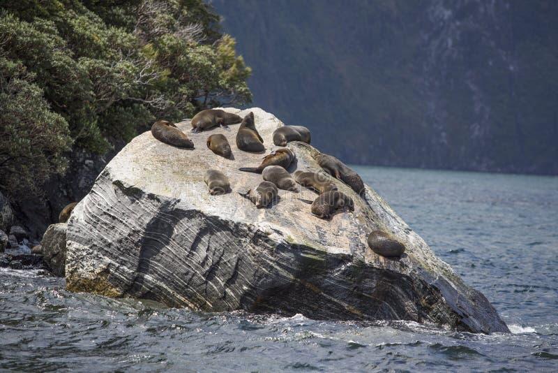 Guarnizioni che dormono in Milford Sound, alla roccia della guarnizione fotografia stock