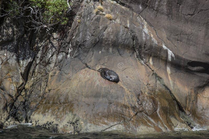 Guarnizioni che dormono in Milford Sound, alla roccia della guarnizione immagine stock