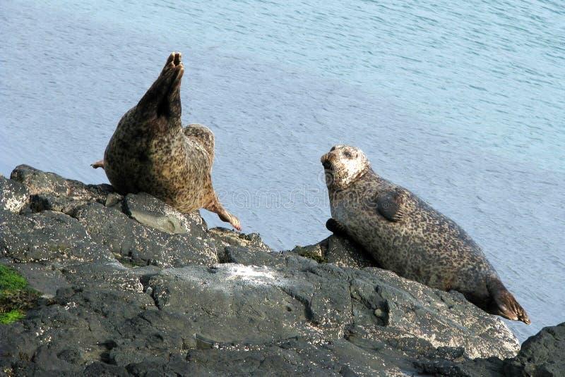 Guarnizioni che prendono il sole nel porto dell'isola di Rathlin immagini stock libere da diritti