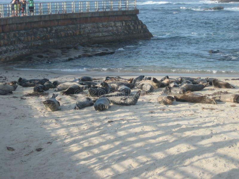Guarnizioni che prendono il sole su una spiaggia CA di La Jolla immagini stock libere da diritti