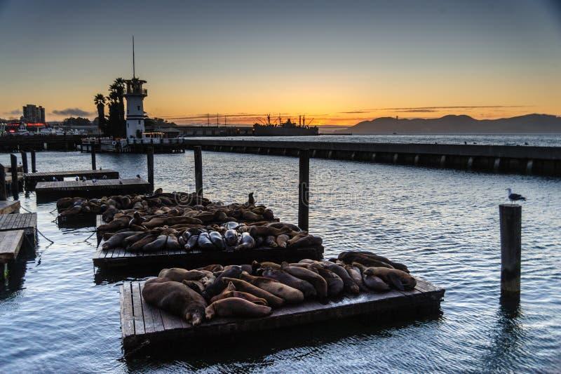 Guarnizioni che riposano al molo del ` s dei pescatori fotografia stock