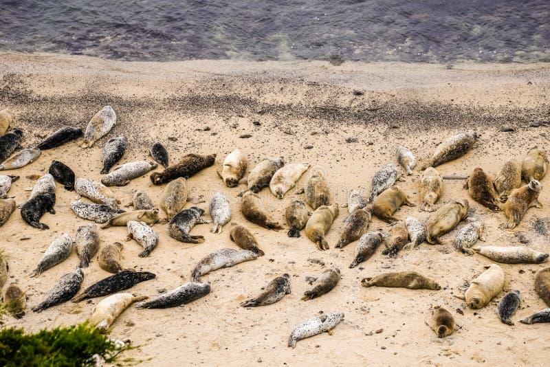 Guarnizioni che riposano a Fitzgerald Marine Reserve, California immagini stock