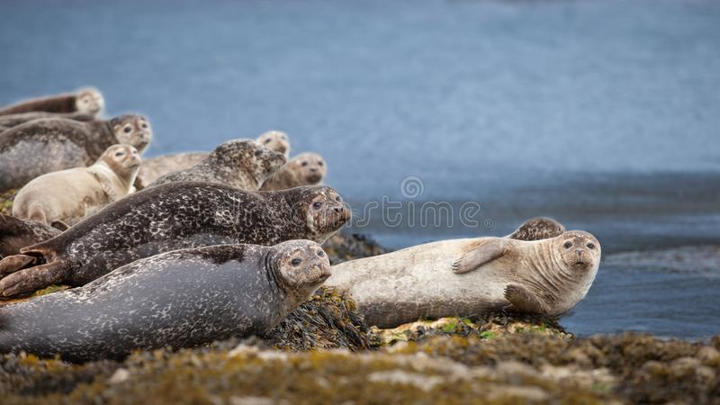 Guarnizioni che riposano su una roccia sulla costa immagine stock libera da diritti