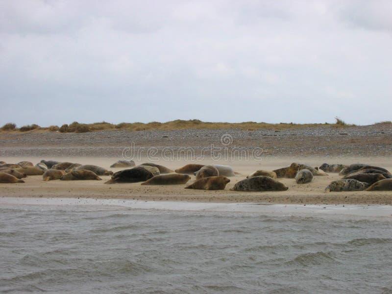 Guarnizioni che si trovano su una spiaggia dorata immagine stock